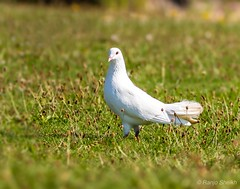 Bird of peace (ranjo sheikh) Tags: greatphotography holiday travelphotography canonuk peace whitepigeon pigeon lovebirds birds naturephotography lovenature wildlifephotography