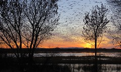 Goose Eruption 2 (Patricia Henschen) Tags: socorro newmexico bosquedelapache nationalwildliferefuge sanantonio wetland clouds mountain mountains nwr sunrise riogrande river winter goose geese snow rosss reflection