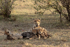 Cheetah with cubs (renatecamin) Tags: kenia maasaimara cheetah gepard wildlife kenya tier animal