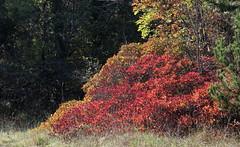Diagonale (lincerosso) Tags: arbusti piante scotano cotinuscoggygria autunno autumn stagione colorerosso vento bellezza armonia diagonale