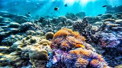 Memories of paradise ...... Maldivian pleasures. (jeromedelaunay) Tags: clownfish naturelovers naturephotography beach asia snorkeling diving submarine photography underwater beautiful colors fishes fish life nature reef sea ocean indianocean inidian maldiveslovers island maldivian maldives