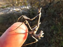 Empusa fasciata (Vitaly Giragosov) Tags: empusafasciata insect sevastopol crimea rf эмпузаполосатая насекомые севастополь крым рф