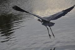 Héron (Jeanne Menjoulet) Tags: paris boisdeboulogne lac héron vol envol