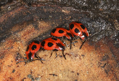 Photo of Handsome Fungus Beetles - Endomychus coccineus