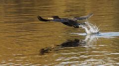 Photo of Cormorant