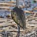 DSC_3935 White-faced Ibis