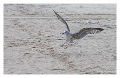 Brakes on! (Joao de Barros) Tags: joão barros seagull nature wild bird
