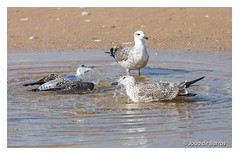 Seagull's spa (Joao de Barros) Tags: joão barros seagull nature wild bird