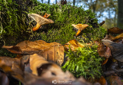 Forest Mushrooms (Christian Lawrence Photography) Tags: forest mushrooms rx100 floor fungi light sussex