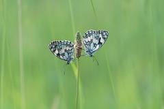 En tête à tête... (passionpapillon) Tags: macro insecte papillon butterfly bokeh demideuil melanargiagalathea passionpapillon 2019 ngc