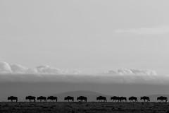 wildebeest migration (renatecamin) Tags: gnu migration kenia wildebeest wildlife kenya animal tier silhuette monochrome