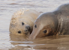 Playtime (alison brown 35) Tags: ngc npc donna nook lincolnshire wildlife trust grey seal seals cow pup young beach uk breeding season autumn alison brown 35