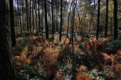 Burnishing (Deepgreen2009) Tags: autumn woodland surrey burnished bracken colourful golden copper nature trees