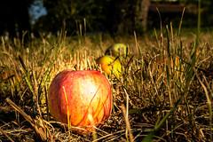 An Apple a Day... (c.triebenbacher) Tags: apple fall autumn grass meadow fruit austria farm summer