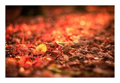 IMG_2676-Pano-Edit-Edit (ianmiddleton1) Tags: autumn autumnal fall leaves glasgow