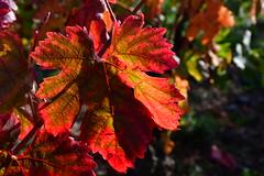 DSC_4115 (griecocathy) Tags: macro végétations vigne feuille soleil ombre vert rouge rose brun