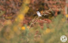 Great Grey Shrike - Lanius excubitor (Lauren Tucker Photography) Tags: bird crabtreehill forestofdean greatgreyshrike nature wales wildlife lanius excubitor canon slr camera markii 7d 100400mm copyright ©laurentuckerphotography photography photographer photograph photo image pic picture allrightsreserved 2019 colour wild mammal uk south west england macro closeup summer great grey shrike