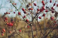 * (PattyK.) Tags: snapseed nikond3100 ioannina giannena giannina epirus ipiro balkans hellas ellada greece grecia griechenland november autumn ιωάννινα γιάννενα ήπειροσ ελλάδα βαλκάνια νολεμβριοσ φθινόπωρο red countryside nature φύση κόκκινο καρποί κόντσικα εξοχή kontsika naturephotography