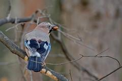 Сойка, Garrulus glandarius glandarius, Jay (Oleg Nomad) Tags: сойка garrulusglandariusglandarius jay птицы москва bird aves moscow