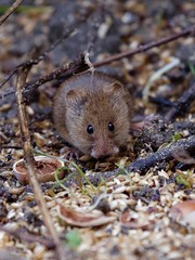 micro-mammifère (pierre.pruvot2) Tags: hautsdefrance pasdecalais guînes lumixg9 panasonic leica mulot mammifère mouse jardin garden nature