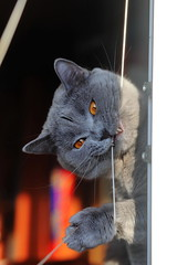 Antonio (Сonstantine) Tags: canon catslife cat catsoftheworld cute catscatscats animals photo pic britishcat meow