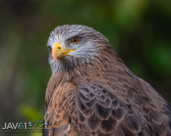 Black kite (Milvus migrans) portrait-9608 (George Vittman) Tags: birds macro nature wildlife raptor kite portrait nikonpassion wildlifephotography jav61photography jav61 fantasticnature