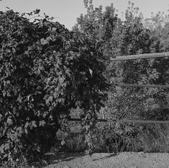 Humulus (k.g.2) Tags: nature naturephotography analogphotography autum analogcamera hasselblad hasselblad500cm blackandwhite poland stillshootfilm buyfilm squareformat 6x6 delta400