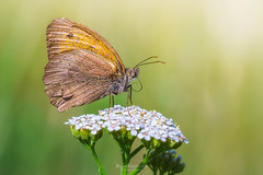 butterfly (rian.krenzer) Tags: animal butterfly bug bokeh summer flower macro field closeup garden insect wings colorful small meadow sunny detailed