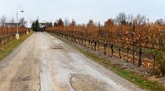 Between the Vines (Anthony Mark Images) Tags: fall autumn coloursoffall vines vineyard grapes grapevines gravelroad winery winecellar vqa niagarawinergion niagaraescarpment jordan ontario canada flatrockcellars estatewinery lampposts nikon d850 flickrclickx