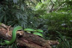 Trimeresurus stejnegeri (Fernando_Iglesias) Tags: viper snake green bamboo chinese taiwan formosa venomous venom crotalinae jungle canon 70d macro herping herps reptiles reptile ophidia trimeresurus stejnegeri viridovipera