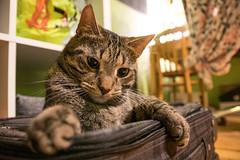 Mittens is celebrating his new suitcase (JaaniicB) Tags: canon eos 77d sigma 1750mm f28 cat domestic animal mittens fur raw lightroom cimdiņš suitcase