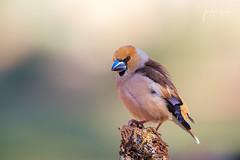 Picogordo (Lagier01) Tags: birds nature fauna aves picogordo los altillos