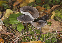 Photo of Grooved Bonnet Fungus - Mycena polygramma