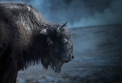 [ yellowstone ] (Oliver Jerneizig) Tags: oliverjerneizigde wwwoliverjerneizigde oliverjerneizig usa us unitedstates america amerika nationalpark landscape landschaft sunset sunrise wilderness canon 6d canon6d2 6dmark2 wyoming idaho bison bisons yellowstone grandteton winter frozen cold buffalo