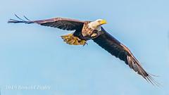 Bald Eagle in-flight with small fish IMG_8742 (ronzigler) Tags: baldeagle raptor birdofprey bird birdwatcher avian nature eagle