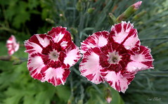 Cottage Pinks (Lani Elliott) Tags: flower pink pinks cottagepinks pretty garden homegarden bright colour colourful patterned bokeh macro upclose closeup light lanielliott nature naturephotography dianthus greenbackground petals maroon red burgundy pinkandredflowers frilly frillypetals