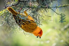 Golden Weaver (helenehoffman) Tags: africa kenya ploceuscastaneiceps bird animal tanzania nest aves weaver savanna tavetagoldenweaver taveta sandiegozoo africarocksaviary maletavetaweaver alittlebeauty coth5