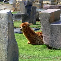 Perù - sooo tired (oriana.italy) Tags: perù incasite drystone zweia tiredllama qantusraqay sacredvalleyoftheincas archaeologicalsite inkaraqay pisac