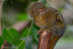 Who Said That! (Alfred Grupstra) Tags: animal wildlife mammal nature animalsinthewild primate cute monkey outdoors small younganimal oneanimal asia endangeredspecies forest fur closeup nopeople looking thailand