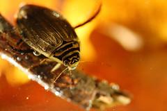 Mare de saison - Acilius sulcatus (Mathurin C) Tags: macro macrodreams macrophotographie coleoptere coleoptera aquarium aquatique mare nievre nièvre entomologie dytiscidae beetle diving bourgogne acilius sulcatus insecte insecta insect