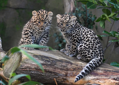 9 1/2 weeks old (muppet1970) Tags: amurleopard cubs endangered bigcat predator cute colchesterzoo zoo captive