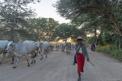 DSC_2666 (Daveoffshore) Tags: david ferguson daveoffshore daveoffshorenetscapenet myanmar people person burmese cattle cow walk shepherd sunset road dirt