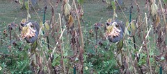 20141023_1124 side_by_side (wi-photos) Tags: fall sunflower 3d stereoscopic colors red orange yellow trees nature maple leaves autumn