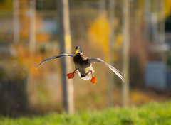 Air braking..... (haslerbryan) Tags: avian bird sigma50mm500mmlens canon60d inflight newriverpath mallards duck hertfordshire elements