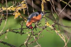 Male Bullfinch (Gareth Keevil) Tags: autumn autumnbird bird birds bullfinch fruit garethkeevil humber humberhead malebullfinch nikon nikon500mmpf nikond500 northcave sunshine telephoto uk yorkshire yorkshirewildlifetrust