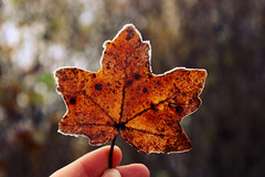 cold brown (Ralaphotography) Tags: november season fall autumn leaf brown cold frozen ice morning leaves trees nature treasure walk canon photography winter