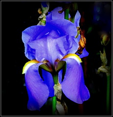 Natural Wonder (dimaruss34) Tags: newyork brooklyn dmitriyfomenko image flower iris
