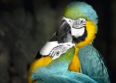 Macaw Kiss (Pragmatic1111) Tags: outdoors nature wildlife wild bird macaw blueandgoldmacaw blueandyellowmacaw blue yellow columbia nikon d500 animal color vivid feather kiss kissing