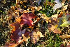 Autumn Vibrance - Leaves (Modkuse) Tags: velvia fujichromevelvia fujifilmxt2velvia fujifilmxt2velviasimulation nature natural natureart art artphotography artistic artisticphotography photoart colorful colors autumn autumnleaves autumncolor autumncolors fall fallcolors fallcolor sooc straightoutofcamera nopostprocessing fujifilm fujifilmxt2 fujinon fujinonxf1855mmf284rlmois xt2 xf1855mmf284rlmois