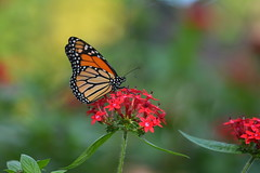 Monarch Thursday (npbiffar) Tags: gardens outdoor flowers penas butterfly monarch bush plant macro 150mm nikon npbiffar coth5 ngc